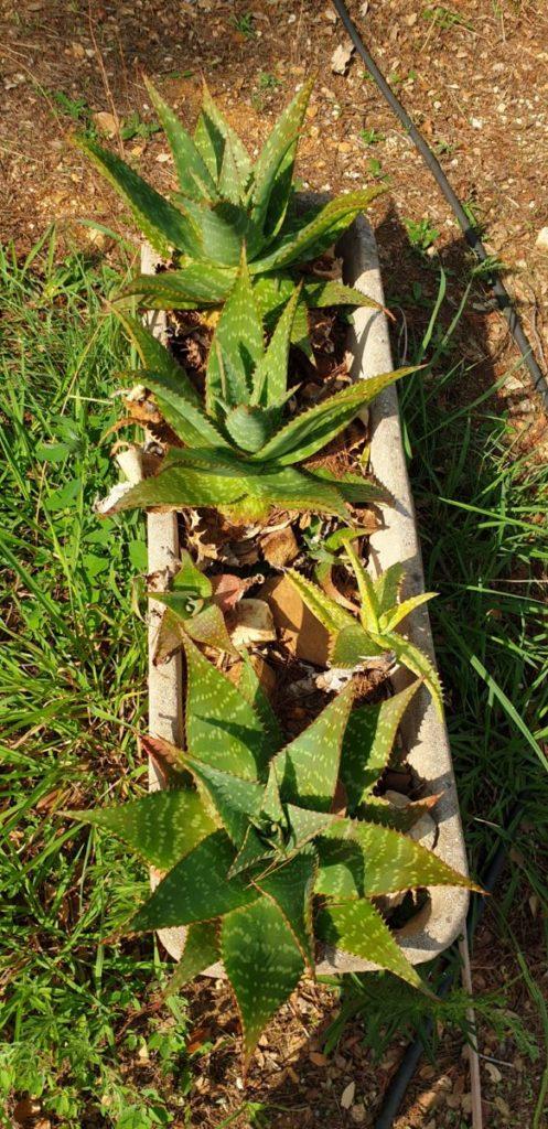 Aloe maculata auf dem Campingplatz