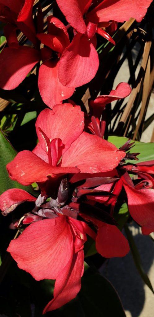 Blumenrohr (Canna hybride)
