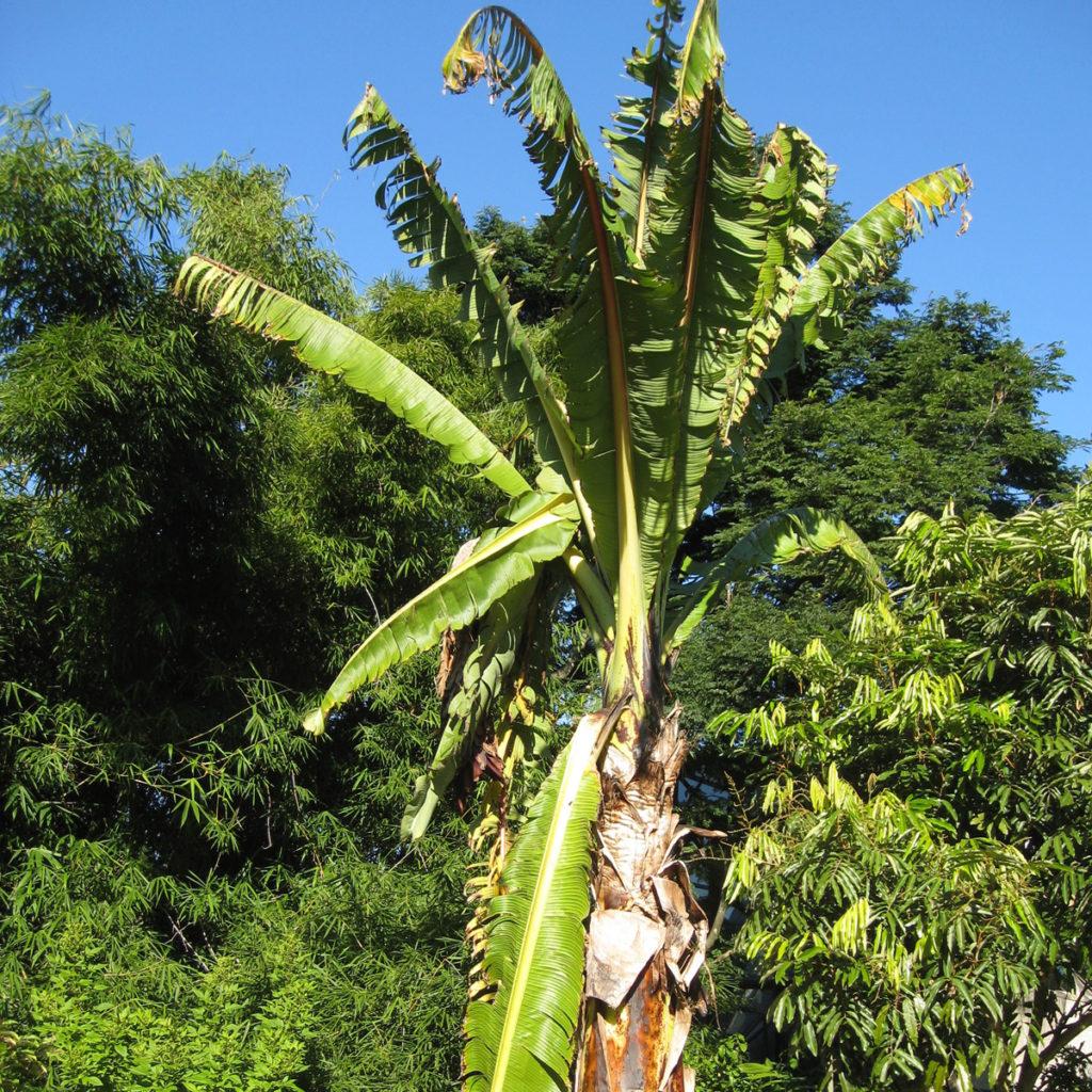 Bananier d'Abyssinie