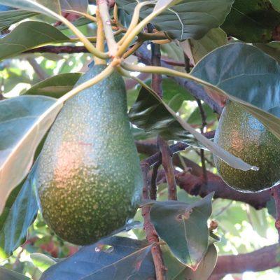 Avocadobaum auf dem Campingplatz
